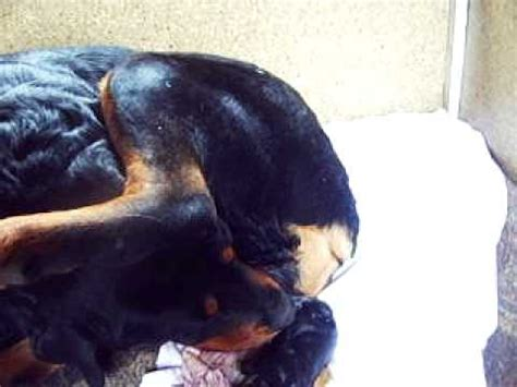 Rottweiler births puppies Satu Mare ( Mandy) - YouTube