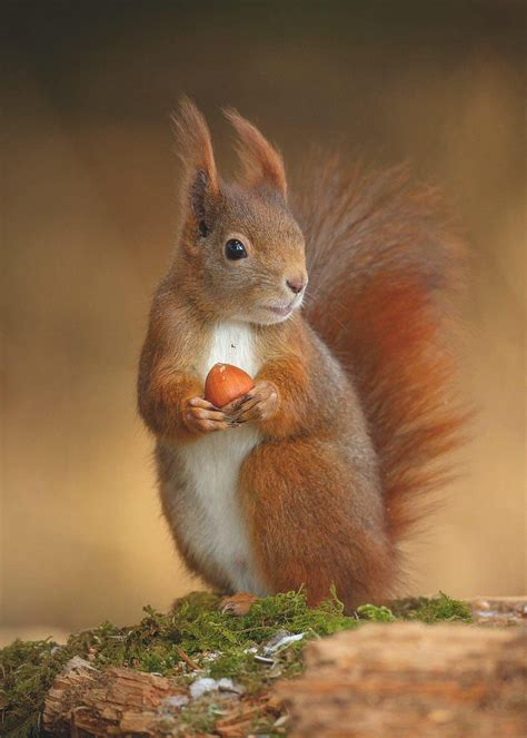 """indigodreams:""""Muscly grey squirrels might outcompete their"""