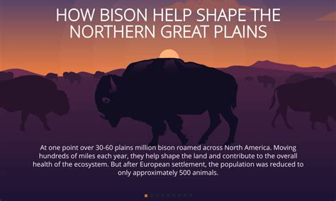 How bison help shape the Northern Great Plains | Pages | WWF