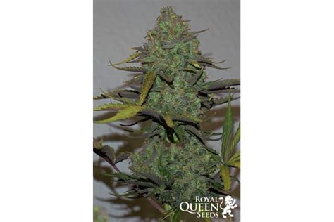 Blue Cheese Automatic 🧀 Cannabis Seeds - Royal Queen Seeds